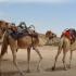 跟人類搶水!澳洲恐射殺1萬頭駱駝