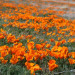 California Poppy Festival 加州州花罌粟節  (4/26 ~ 4/27)