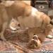 你有聽說過和狗狗還有兔子變成朋友的小獅子嗎?!