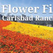 春遊聖地亞哥花海  擁抱花漾美景 Carlsbad Flowers Field (3/1 ~ 5/14)