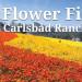 春游圣地亚哥花海  拥抱花漾美景 Carlsbad Flowers Field (3/1-5/12)