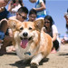 SoCal Corgi National Beach Day 南加柯基犬海灘日 (4/7)