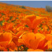 California Poppy Festival  加州罂粟花节(4/21-22)