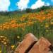 花已經開好了! 南加野地遍地開花 美不勝收!