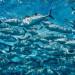 這鮪魚好毒?! UCSD研究:大西洋歐洲沿岸與墨西哥灣抓到的鮪魚比較毒…