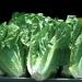 生菜為何變成食物中毒主要來源? 專家解密: