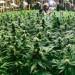 財源廣進! 加州2018年第一季大麻稅進帳超過六千萬