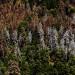 美西樹木大量死亡 氣候變遷和蟲害惹禍