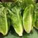 終於可以放心吃蘿蔓生菜!CDC宣佈大腸桿菌疫情正式結束
