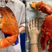 比人手還要大!Costco驚現巨型龍蝦爪