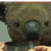 大難不死!澳洲野火肆虐 無尾熊被燒成咖啡色捲曲在地