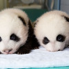 雙胞胎貓熊出生100天可愛成長全紀錄!