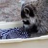 可愛到融化了!!直擊小浣熊洗衣服!