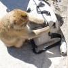 猴子出沒注意!小偷也賣萌?!