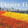 春遊聖地亞哥花海  擁抱花漾美景 Carlsbad Flowers Field (3/1-5/10)