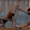 我也想出去看看大千世界!Eureka红杉动物园一只小熊猫失踪啦!