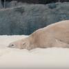 最棒的圣诞礼物,SD Zoo北极熊欢乐玩雪