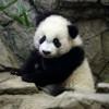 萌神出马,以一顶百!熊猫贝贝首次亮相动物园(影)