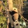 熊貓寶寶首次爬樹瞬間被攝下(超有愛的!)