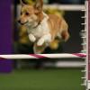 萌犬來襲!一年一度的威斯敏斯特全犬種大賽可愛照片全集錦!