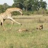 """收假上班覺得苦? 牠們比你更淒慘! 獅群竟成長頸鹿""""腳""""下敗將"""