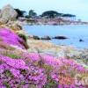 【矽谷心生活】北加Monterey 海灣魔幻紫色花毯