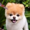 全球最可愛狗狗離世!網紅博美犬Boo終年12歲