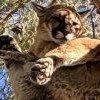 「大貓卡在我家樹上」消防員到場看到美洲獅嚇壞