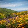 野花季即將來臨!山火、大雨將為南加帶來遍地開花