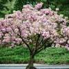 在家中也能赏樱?Home Depot官网多种樱花树只需$39