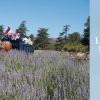 Lavender Festival 薰衣草節 (5/23-6/30)