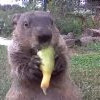 影/最囂張地鼠!偷菜園還光明正大吃給你看