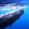 影/正妹下海游泳 被好奇的抹香鯨寶寶追著不放