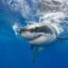 英男出海游泳未返 鯊魚腹中發現斷肢「手上還戴著婚戒」