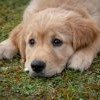 National Puppy Day 提醒大眾反思狗隻繁殖場的禍害 (3/23)