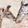 看著好治癒!全球16家動物園直播清單