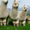 美洲駝抗體可對付新冠病毒 成為抗疫新希望!