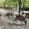 日本遊客驟減奈良鹿恢復「黑豆便」 網笑:正露丸產量大增