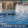 東京馬場走失賽馬運河裡游泳 網友:好像很享受呢