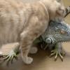 天然抓板get!喵星人疯狂磨蹭绿蜥蜴 牠直接闭眼放弃抵抗