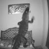 影/佛州鱷魚頻闖民宅!想吃海龜裝飾品 還在門口打架