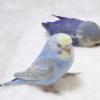 治癒度滿分!藍色鸚鵡睡姿超可愛 網友看完覺得好放鬆