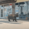 熊出沒請注意!Arcadia 購物中心外一只棕熊在櫥窗外悠哉閒逛