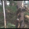 消失100多年!狼獾媽媽帶著小孩出現在美國國家公園