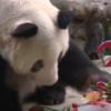 影/全球最老貓熊歡慶38歲生日 堪稱「貓熊人瑞」