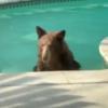 加州飆出地表最熱54度 棕熊闖民宅泳池「涼快一下」