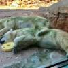 還我白毛!日本北極熊變得「綠油油」 民眾憂:生病了?