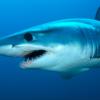 為提取新冠疫苗所需元素 滿足全球接種恐要殺50萬條鯊魚