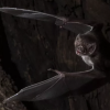 連動物都懂!研究指野生吸血蝙蝠 生病會保持社交距離