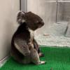 日本无尾熊坐姿像「酒醉大叔」!成为农场救世主 拯救观光人气